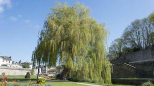 «Il suffit de mettre le nez dehors et de regarder les arbres et les fleurs». Ici, un arbre remarquable à Vanves.