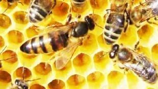 Des abeilles sur une plaque de miel.