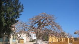 L'arbre à palabres sur l'île de Gorée au Sénégal, lieu traditionnel de rassemblement du village.