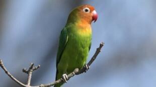 Lilian Lovebird in southern Africa