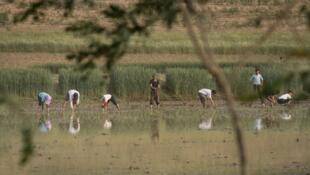 Рисовые поля в окрестностях города Кэсона в Северной Корее