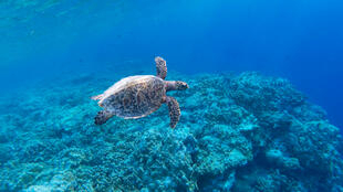 A Hawksbill turtle swimming over a coral reef in the shallow waters near Astove island.
