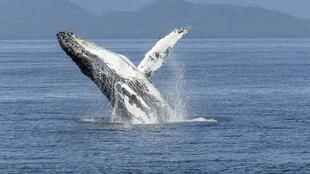 Humpback whales and other cetaceans use surface behaviour such as breaching for many functions including breathing, feeding and communication.