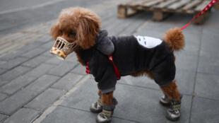 Um cachorro, da raça lulu da Pomerânia, apresentou teste positivo para o coronavírus.
