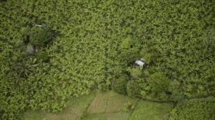 Vista aérea de una plantación de banano en Apartado, Colombia.