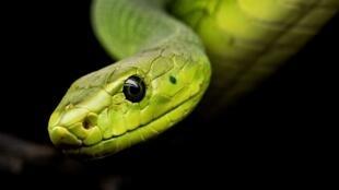 Le nombre de personnes ayant un serpent chez soi, au même titre qu'un chien ou qu'un chat, est en hausse (image d'illustration).