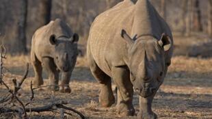 Un rhinocéros noir et son petit dans un parc de Tanzanie, en mai 2010.