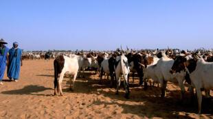 Une transhumance au Mali.