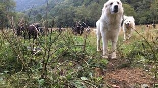 Two Great Pyrenees guard dogs, known in France as patous, protect a herd of goats near Siguer in the French department of Ariege.