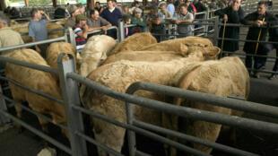 Sur un marché couvert de vente de bovins en Auvergne, dans le Massif central.