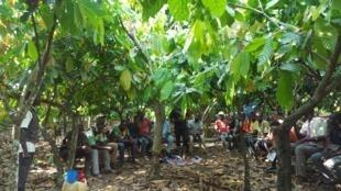 Champ-école dans une plantation de cacao de Yaokro, près de Sinfra en Côte d'Ivoire.