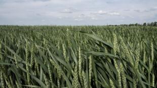 Un champ de blé à Volodarka, au sud de la capitale ukrainienne, fin mai 2019.