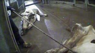 Imagens de câmera escondida mostram vacas sendo puxadas pelo pescoço, visivelmente doentes, além de carcaças e pedaços de carne estragada.