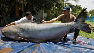 This Mekong giant catfish caught in 2005 was nearly three metres long
