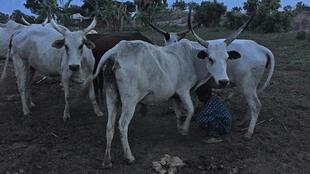 Le troupeau de Roger Afora, confié à un bouvier peul, est attaché pour la nuit pour éviter les vols.