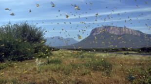Un essaim de criquets, près d'Archers Post dans le comté de Samburu, à environ 300 kilomètres au nord de la capitale kenyane, Nairobi, le 22 janvier 2020.