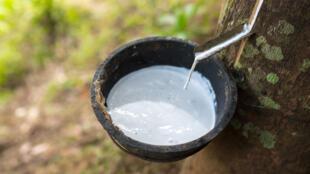 Extraction de latex à partir de l'hévéa.