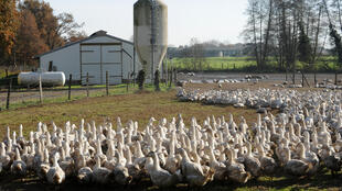 his file photo taken on December 10, 2015 shows ducks roaming in an outdoor enclosure in a farm in Benesse-Maremne, southwestern France.