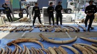 泰國海關人員又收繳三噸走私象牙   2015年4月27日曼谷