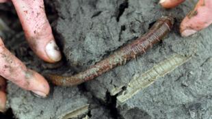 Mesurant entre 10 et 15 cm, ce ver est surtout connu pour ses petits tortillons visibles sur les plages. Son hémoglobine est capable d'acheminer 40 fois plus d'oxygène que l'hémoglobine humaine.