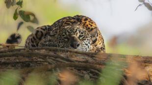 Jaguar dans la région du Pantanal brésilien.