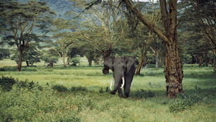 An elephant grazing in grassland (illustrative purposes only).