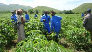 Illustration. Un champ de manioc en RDC.