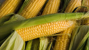 Monsanto's MON 810 sweetcorn