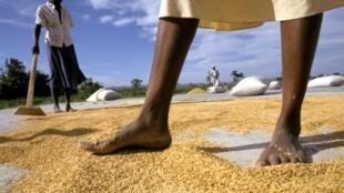 Des fermiers haïtiens séchant du riz.