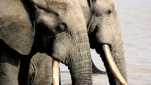 Elephants d'Afrique.
