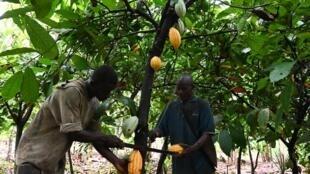 Des planteurs de cacao à Sinfra, en Côte d'Ivoire.