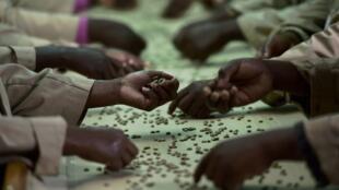 Le café du Kenya est un arabica haut de gamme avant tout destiné aux artisans torréfacteurs en Europe et aux États-Unis.