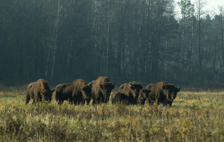 Беларусь начала возрождать зубра в 20-х годах прошлого века