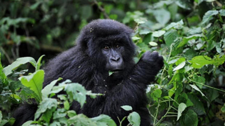 RDC: 6 naissances de gorilles depuis janvier dans le parc des Virunga
