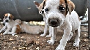Puppies training to be goat-dogs in Botswana