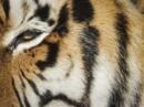 Un tigresse du zoo de New York testée positive au Covid-19