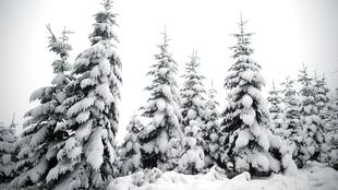 Os pinheiros já estão cobertos de neve no centro da França no parque regional de Dun-les-Places