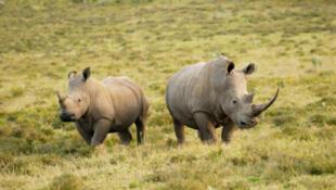 Rhino horn is used as an aphrodisiac in Asia