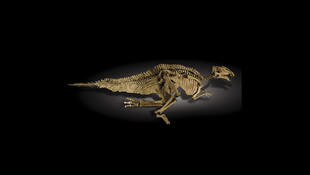 The Prosaurolophus maximus that went to auction in Sotheby's in 2011 but failed to reach the €1.3 million reserve price