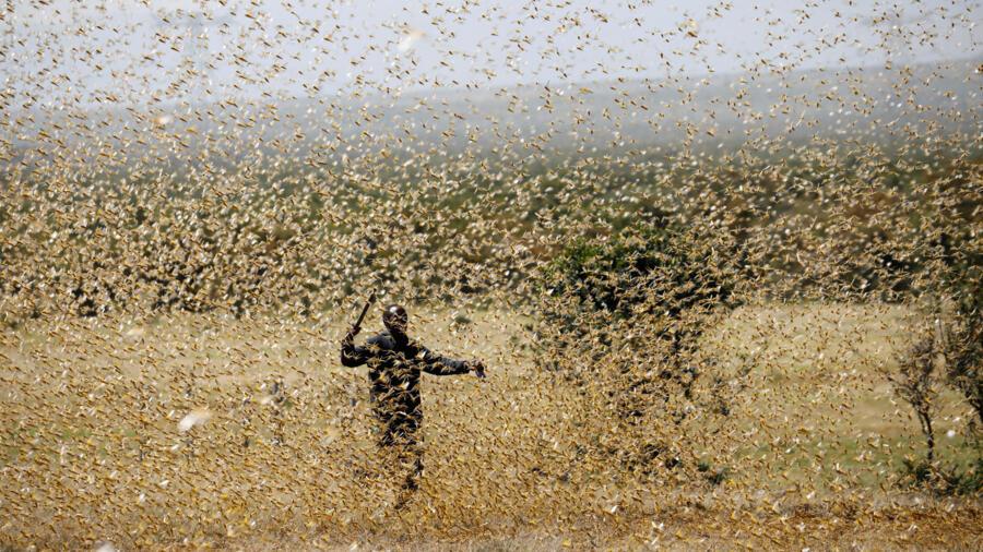 图为2月21日,肯尼亚一位农民拼命驱赶飞到田地的大片蝗虫。
