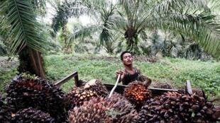 Một khu trồng cây cọ để lấy dầu tại Kuwala, miền Bắc đảo Sumatra, Indonesia.