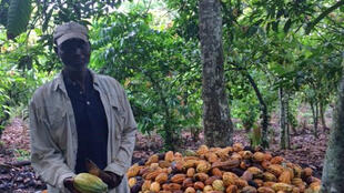 La délinquance grandit autour du cacao, qu'il s'agisse de vol d'espèces – nécessaires pour payer la récolte –, ou de vol des fèves de cacao elles-mêmes.