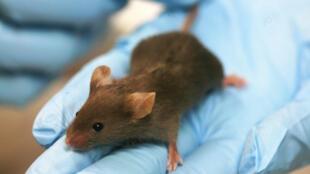 Cientistas do Instituto Pasteur e das duas principais instituições de pesquisa científica na França, o Inserm e o CNRS conseguiram curar a surdez em camundongos. Foto ilustrativa.