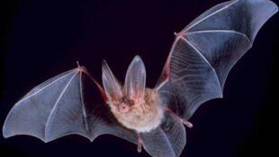 Dơi bị nghi là động vật lây truyền virus