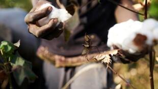 En 2008, le Mali est devenu le premier producteur de coton africain.  Ici, un agriculteur cueille du coton dans le sud du Mali, le 4 décembre 2018 (image d'illustration).