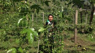 En Colombie, des scientifiques aident les petits agriculteurs à s'adapter au changement climatique. Ici, la culture de la gulupa, un fruit prisé à l'export (Illustration).