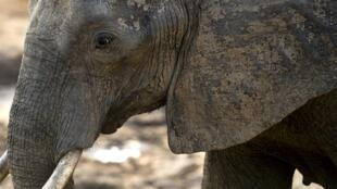 Les éléphants ont notamment ravagé plusieurs hectares de champs dans le territoire de Malemba Nkulu et causé la mort d'une personne au moins.