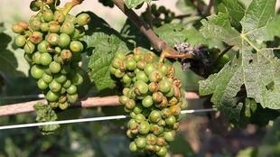 Grapes hit by hail in 2011