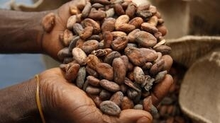 Dried cocoa beans  on a cocoa farm near Amankwakram in Western Ghana on the border with Côte d'Ivoire
