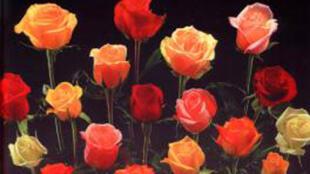 Hoa hồng, biểu tượng của mùa Valentine